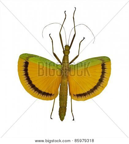 flying yellow stick insect isolated on white background