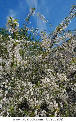 Blossoming Spring Tree