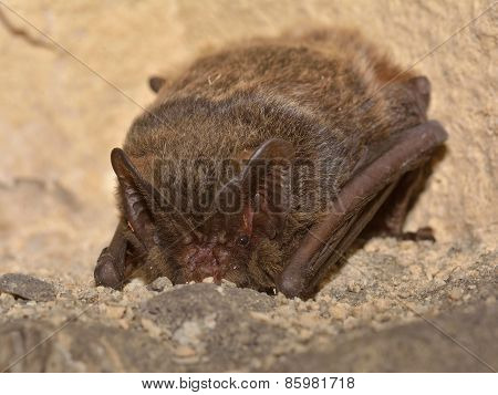 The Barbastelle Bat (barbastella Barbastellus), Western Barbastelle Hibernation