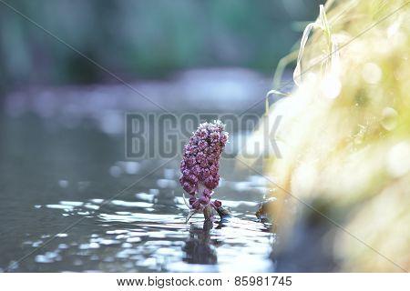 Beautiful Water Flower