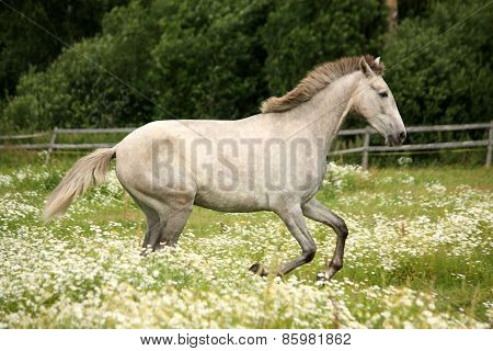 Gray Andalusian Horse Galloping At Flower Field
