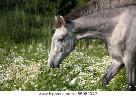 Andalusian Gray Young Horse Portrait In Summer