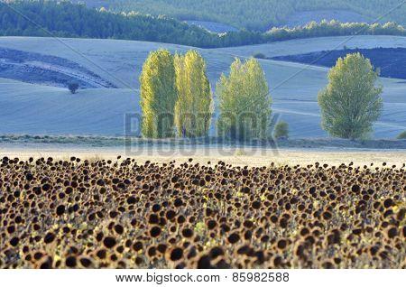 Sunflowers and trees, Cuenca province, Cuenca, Castilla La Mancha, Spain.