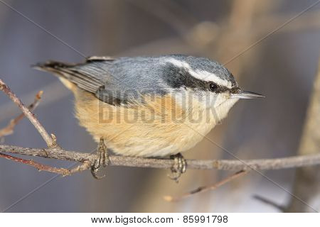 A lone nuthatch on a tree branch