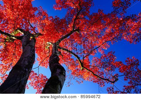 Silhouette Red Maple Tree On Blue Sky