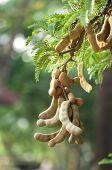 picture of tamarind  - Tamarind Vietnam natural plant - JPG