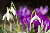 pic of hayfield  - first flower Galanthus Snowdrop bloom in spring garden with violet flower background - JPG