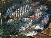 pic of fresh water fish  - Freshly caught various salt water fish in a net - JPG