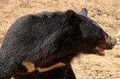 stock photo of species  - Black Bear is dangerous species in forest thailand and it live everwherer in forest v - JPG