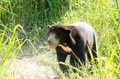 stock photo of species  - malayun sun bear is dangerous species in forest thailand and it have black hair u - JPG