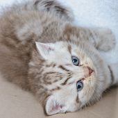 pic of scottish-fold  - Small Scottish fold kitten the age of 1 month - JPG