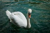 pic of angry bird  - Angry Swan at the Llimmat river in Zurich  - JPG