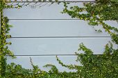 foto of creeper  - Green Creeper Plant Growing on a wooden frame. ** Note: Soft Focus at 100%, best at smaller sizes - JPG