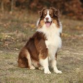 foto of australian shepherd  - Amazing beautiful australian shepherd in autumn outdoor - JPG