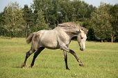 foto of galloping horse  - Young gray andalusian spanish horse galloping free and happy - JPG