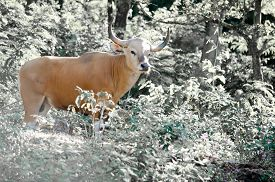 image of species  - Banteng was in Red List of Threatened Species in Endangered species in nature Thailand and it looking something on the rock - JPG