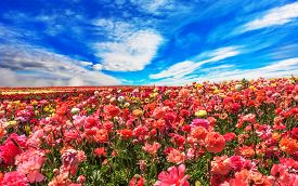 stock photo of buttercup  - Picturesque field of the blossoming buttercups  - JPG