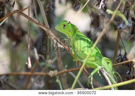 small green iguana