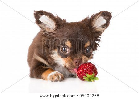 chihuahua puppy with a strawberry