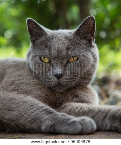 British blue cat portrait.