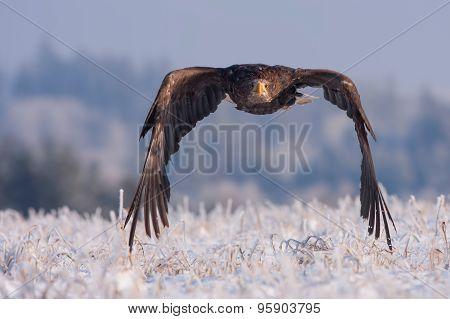 flying eagle in frozen snow