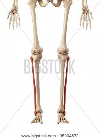 medical accurate illustration of the fiblua bone