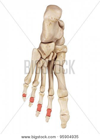 medical accurate illustration of the middle phalanx bones