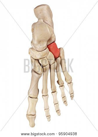 medical accurate illustration of the cuboid bone