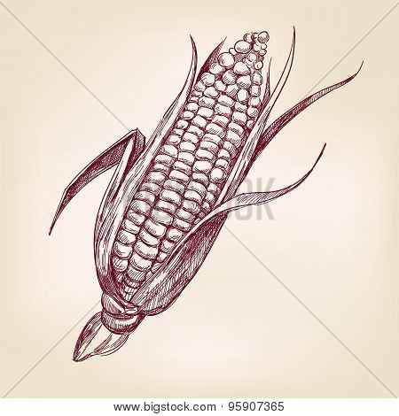 corncob  hand drawn vector llustration realistic sketch