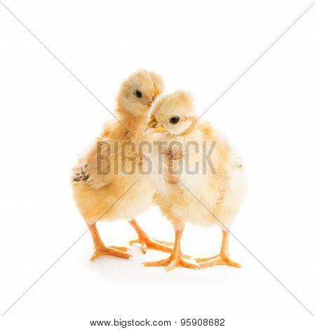 Cute chicks