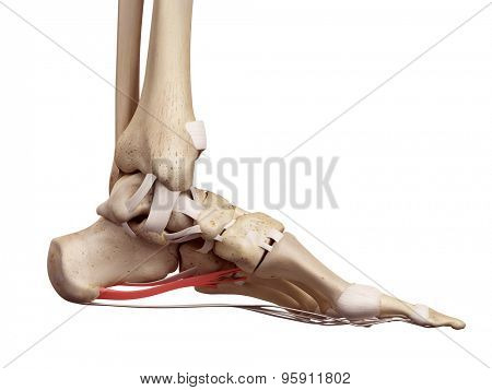 medical accurate illustration of the long plantar ligament