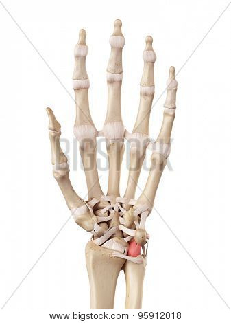 medical accurate illustration of the palmar ulnolunate ligament