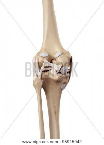 medical accurate illustration of the knee ligaments