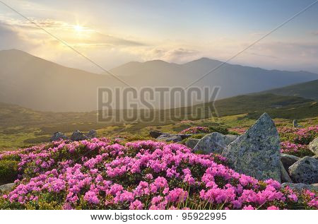 Blossoming rhododendron in mountains. Pink flowers in the sunlight. Morning fog