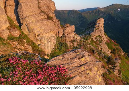 Summer morning in mountains. Rock lit by the sun. Flowers pink rhododendron. Carpathian Mountains, Ukraine