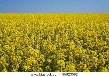 Summer rural landscape with a field of flowering canola. Sunny day