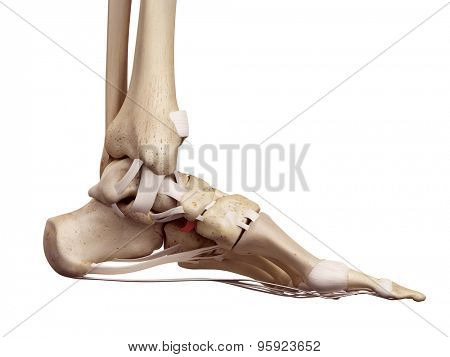 medical accurate illustration of the plantar cuboidenavicular ligament