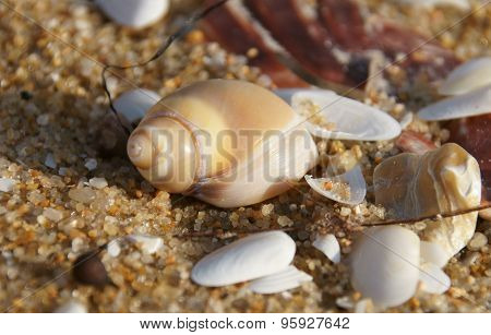 sea snail shell on the beach