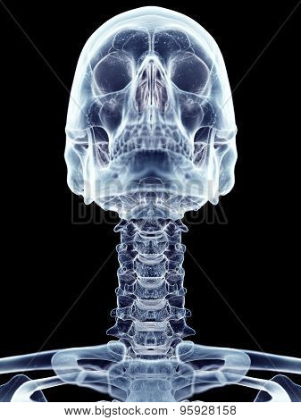accurate medical illustration of the cervical spine