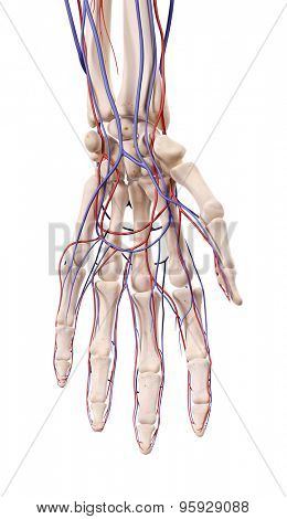 medical accurate illustration of the hand blood vessels