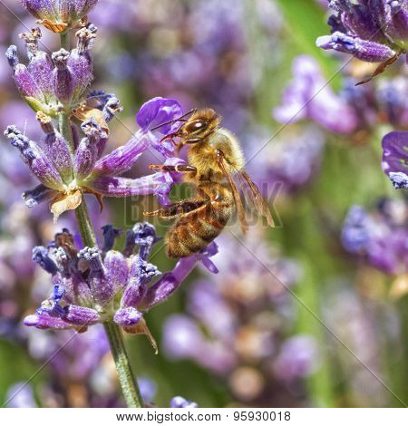 Bee on Lupines