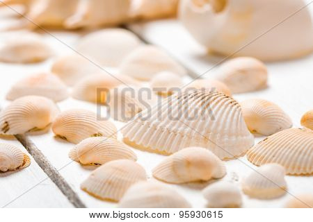 Some scattered cockleshells close up