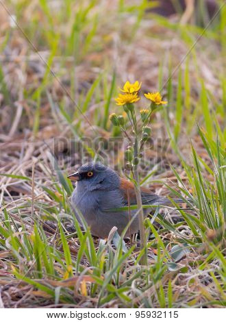 Yellow Eyed Junco