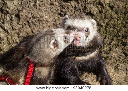 Kissing couple of ferrets.