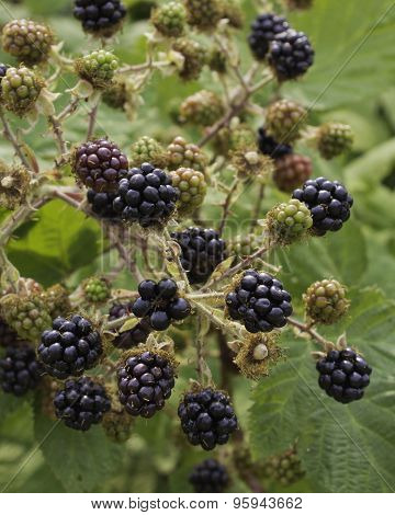 Blackberries - cluster close-up