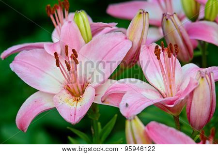 Light Pink Flowers Of A Lily