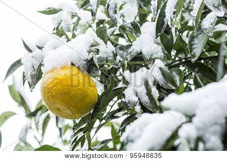 Citrus fruit with snow
