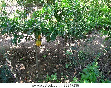 Oranges trees