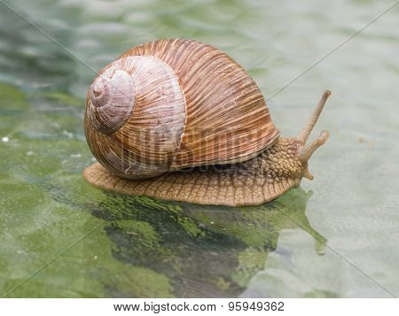 Helix Pomatia Edible Snail On A Glass Table