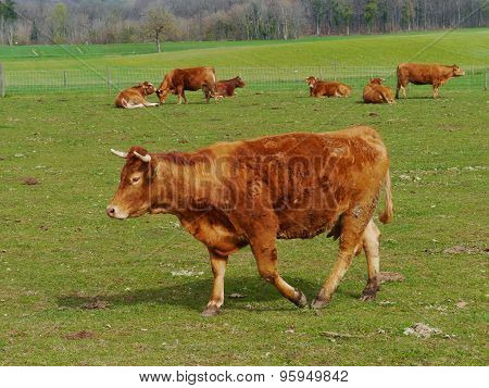 Swiss cattle at a farm in spring